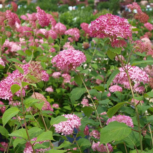 Hydrangea arborescens \'Invincibelle\' ® C15L 50/80