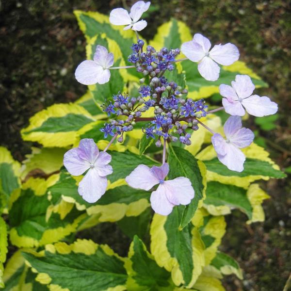 Hydrangea macrophylla \'Gold Rush\' ® C4L 20/40