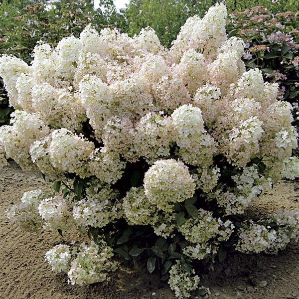 Hydrangea paniculata \'Bobo\' ® 30/40 C4L