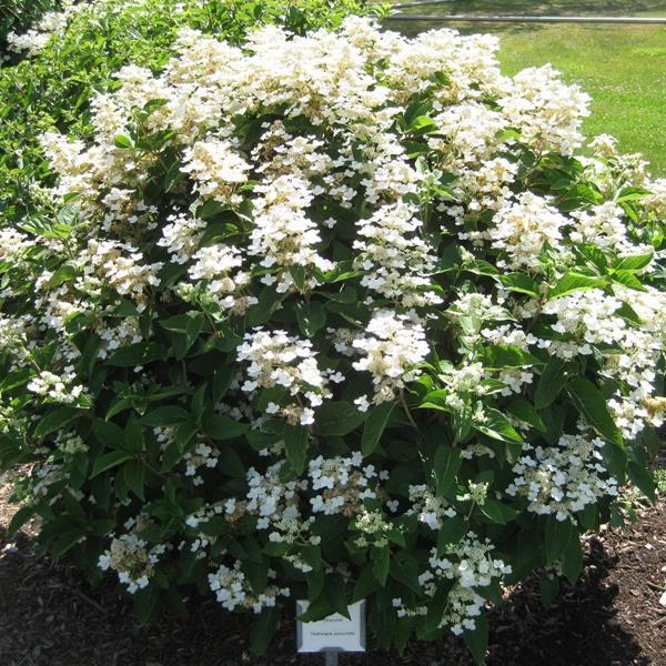 Hydrangea paniculata \'Daruma\'