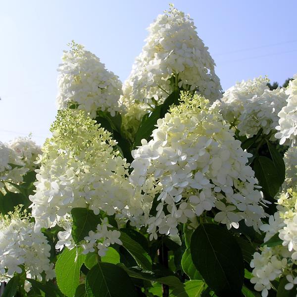 Hydrangea paniculata \'Limelight\' ® C4L 30/40