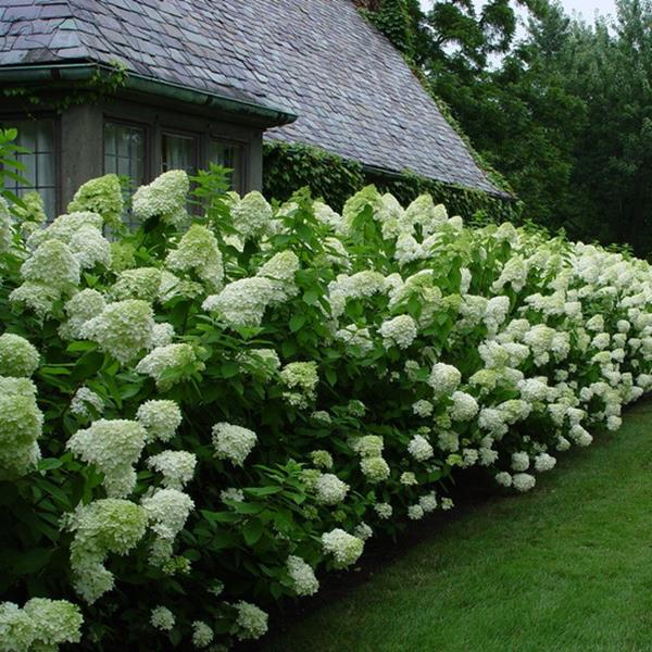 hydrangea paniculata 39 limelight 39 c4l 30 40 tous les hydrangea p pini res c te sud des landes. Black Bedroom Furniture Sets. Home Design Ideas