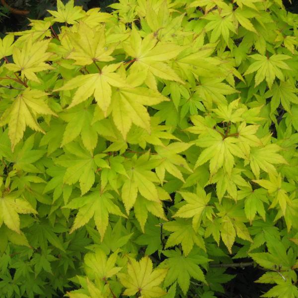 Acer palmatum \'Summer Gold\' C4L 40/60