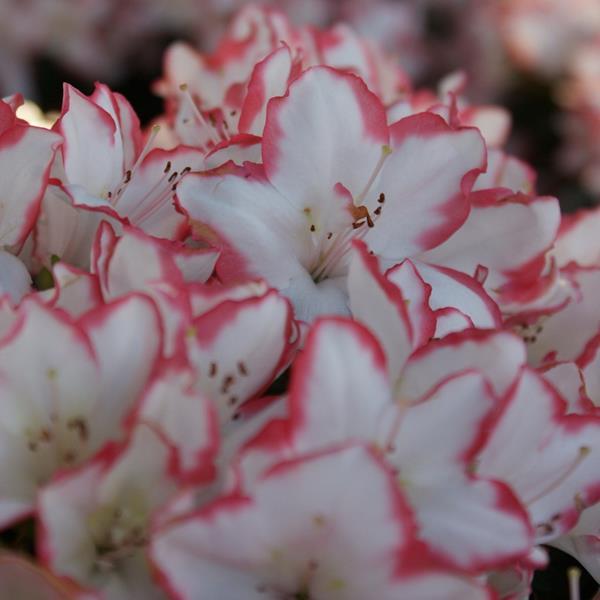 Rhododendron (azalée persistante) \'Sachsenstern\'