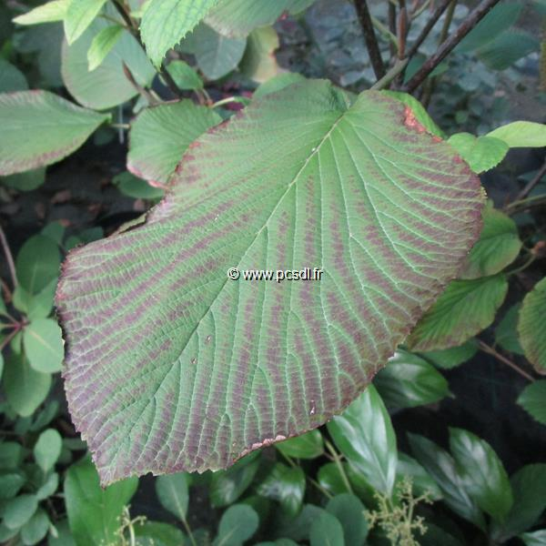 Viburnum furcatum C5L 60/80