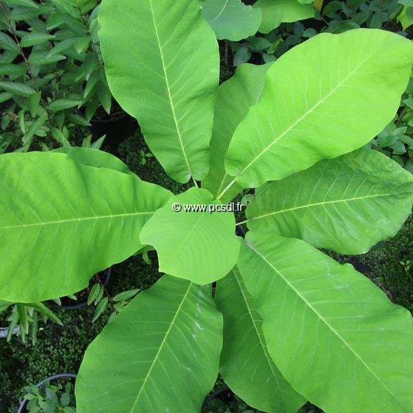 Magnolia macrophylla C4L 30/40