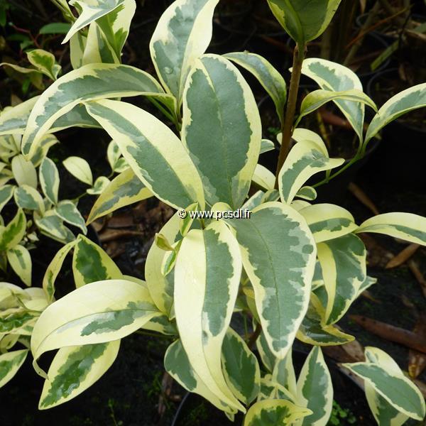 Ligustrum japonicum \'Pierrot\' ® 60/80 C4L