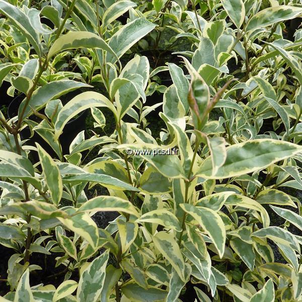Ligustrum japonicum \'Colombine\' ® C4L 40/60