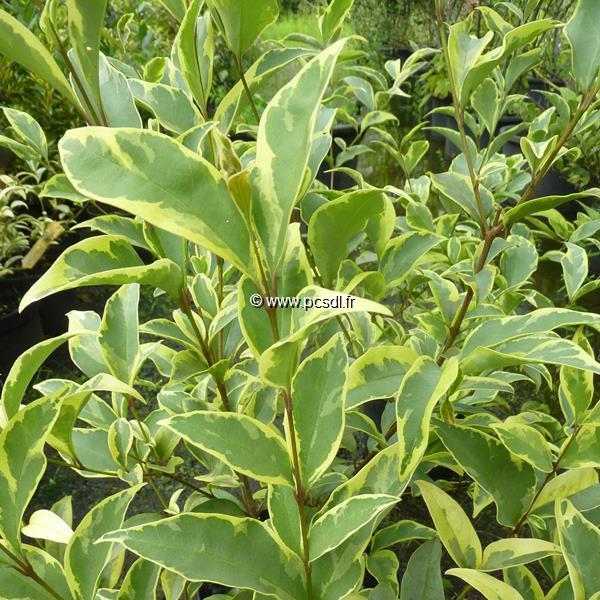 Ligustrum japonicum \'Arlequin\' ® C15L 80/100