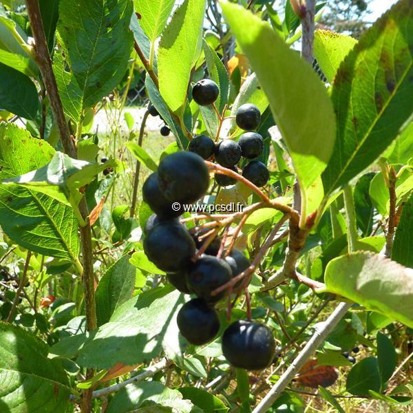 Aronia x prunifolia \'Viking\' C4L 60/80