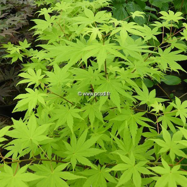 Acer palmatum \'Summer Gold\' C7L 40/60