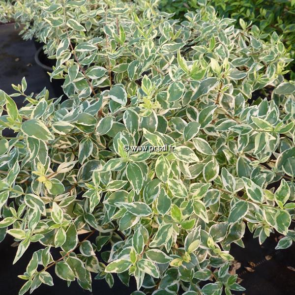 Abelia x grandiflora \'Sparkling Silver\' C4L 30/40