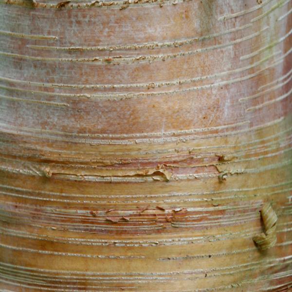 Betula albosinensis \'Hergest\' 100/125 C4L
