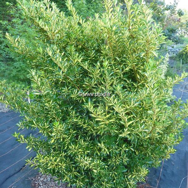Euonymus japonicus \'Aureus\' 30/40 C4L