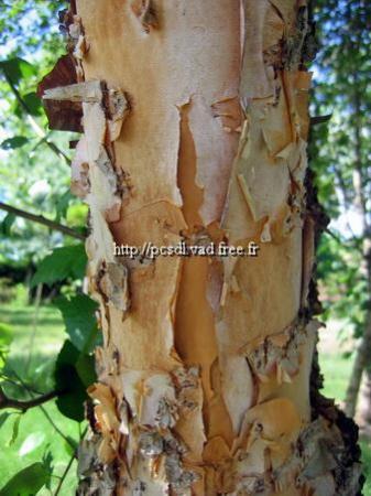 Betula nigra \'Black Star\' ® 100/125 C4L