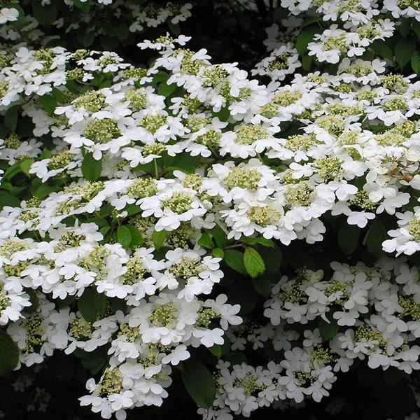Viburnum plicatum \'Watanabe\'