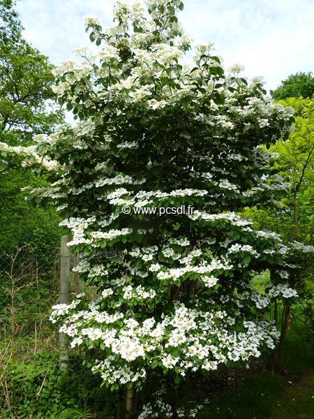 Viburnum plicatum \'Watanabe\' C30L 100/125