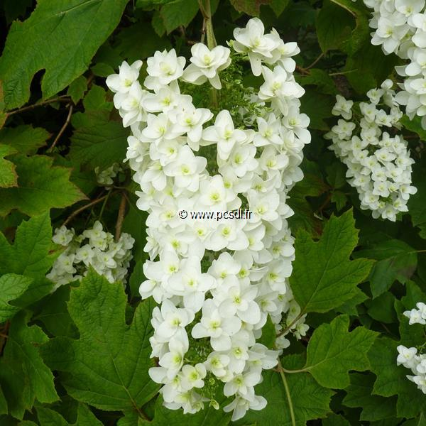 Hydrangea quercifolia \'Snowflake\' 30/40 C3L