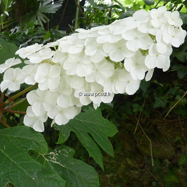 Hydrangea quercifolia \'Snowqueen\' ® C3L 40/50