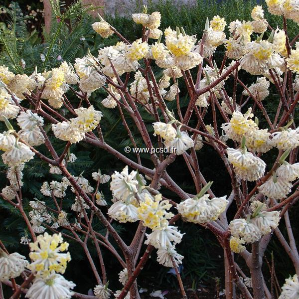 Edgeworthia chrysantha C3L 30/40