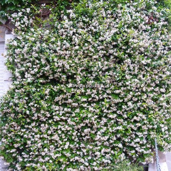 trachelospermum jasminoides 39 wilsonii 39 40 50 c4l toutes les grimpantes p pini res c te sud. Black Bedroom Furniture Sets. Home Design Ideas