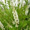 Clethraceae