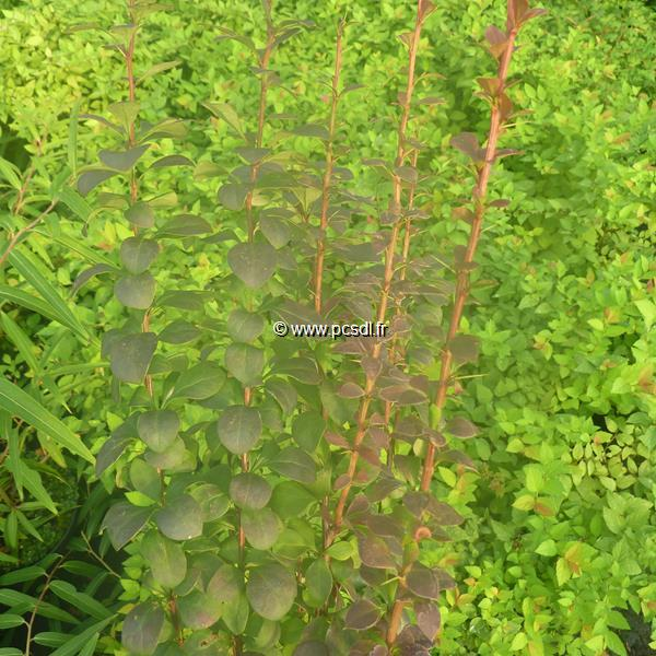 Berberis thunbergii \'Red Torch\' ® 30/40 C4L