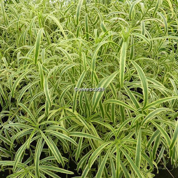 Erysimum linifolium \'Variegatum\' C3L 30/40