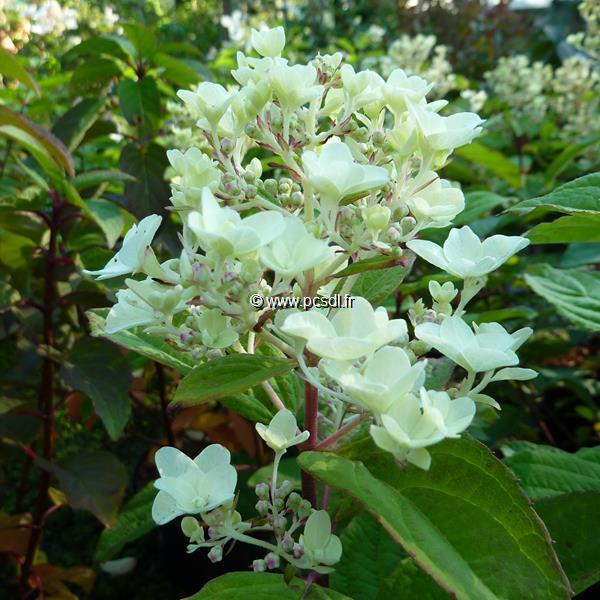 Hydrangea paniculata \'Tickled Pink\' ® C3L 40/50
