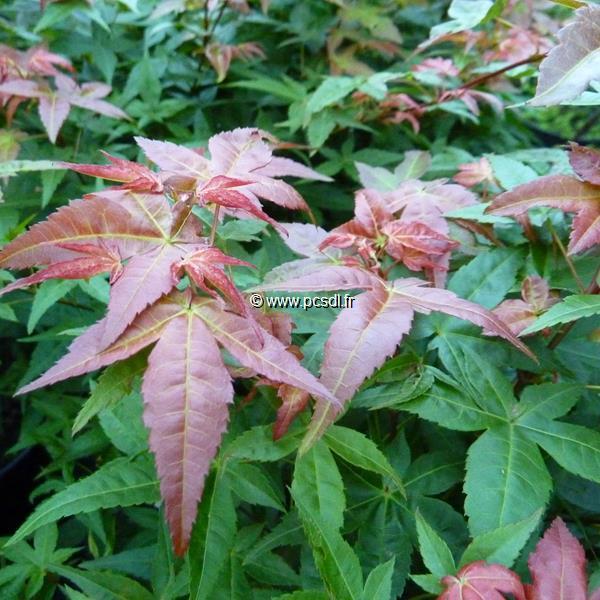 Acer palmatum \'Chishio\' C15L 40/60