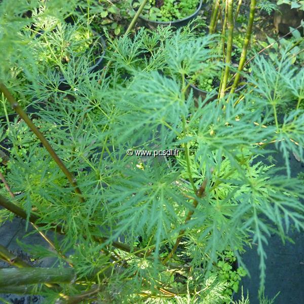 Acer palmatum \'Dissectum Emerald Lace\' C15L 100/125