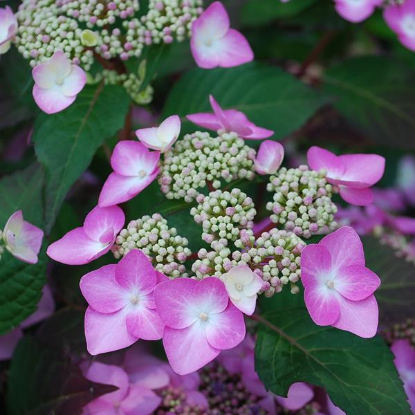 Hydrangea macrophylla (endless summer) \'Twist & Shout\' ® C4L 20/40