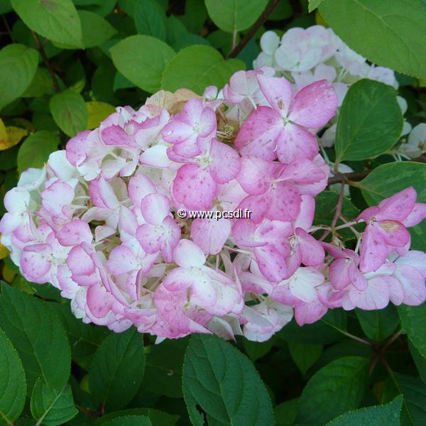 Hydrangea paniculata \'Fraise Melba\' ® C10L tige 1m