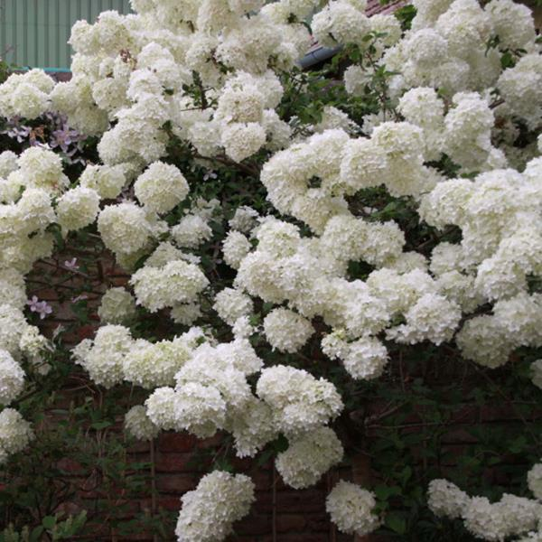 Viburnum macrocephalum \'Happy Fortuna\' ® 40/60 C3L