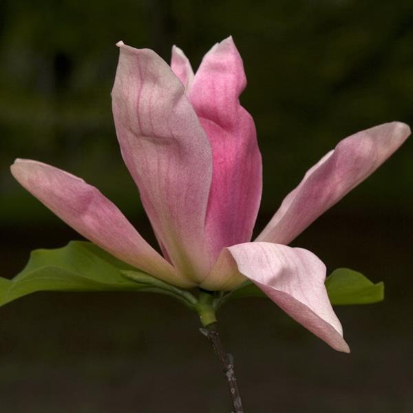 Magnolia \'Daybreak\' C7L 60/80