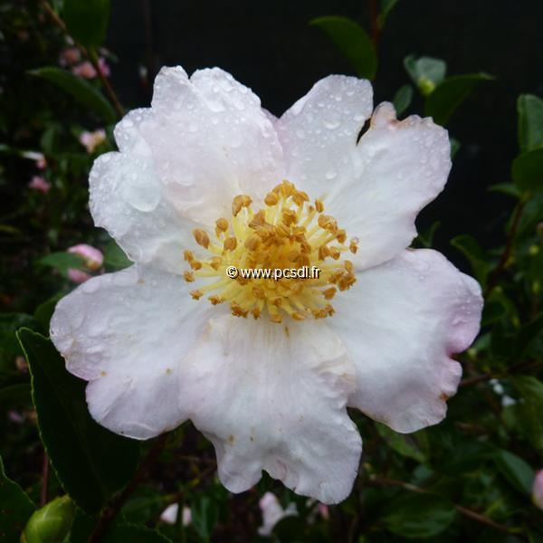 Camellia sasanqua \'Anshar\' C5L 40/60