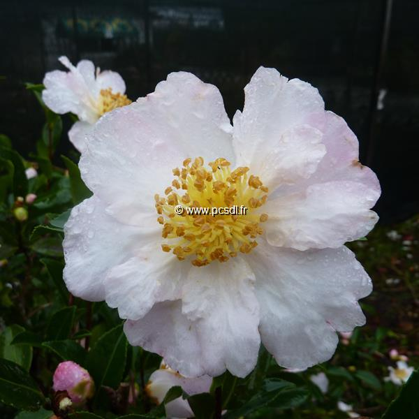 Camellia sasanqua \'Anshar\' C20L 100/125