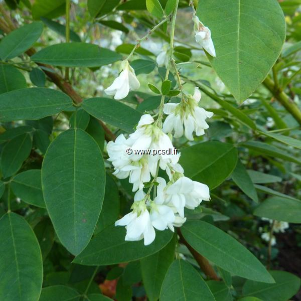 Lespedeza thunbergii \'White Fountain\' C4L