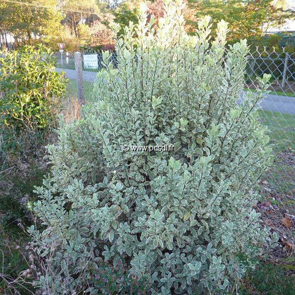 Pittosporum tenuifolium \'Elisabeth\' C10L 40/60