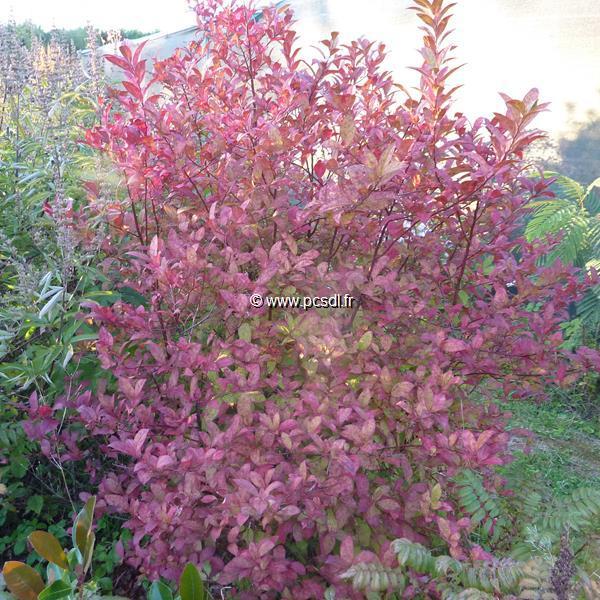 Itea japonica \'Beppu\' C4L 40/60