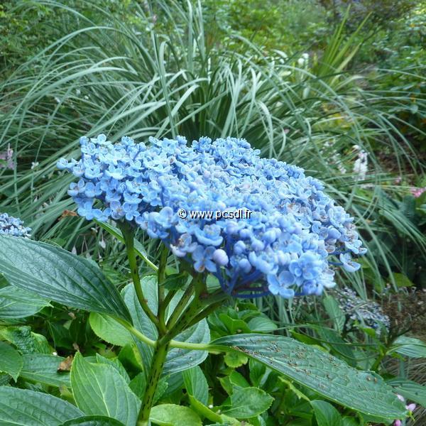 Hydrangea macrophylla \'Etanin\' C4L 20/40
