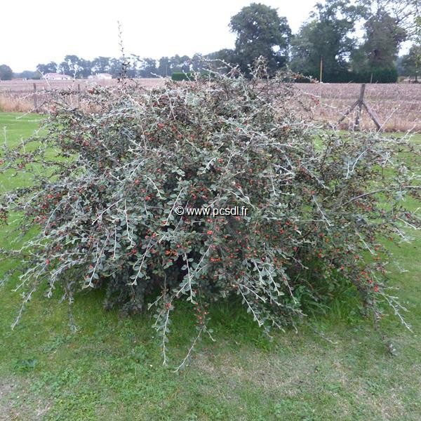 Cotoneaster franchetii C15L 125/150