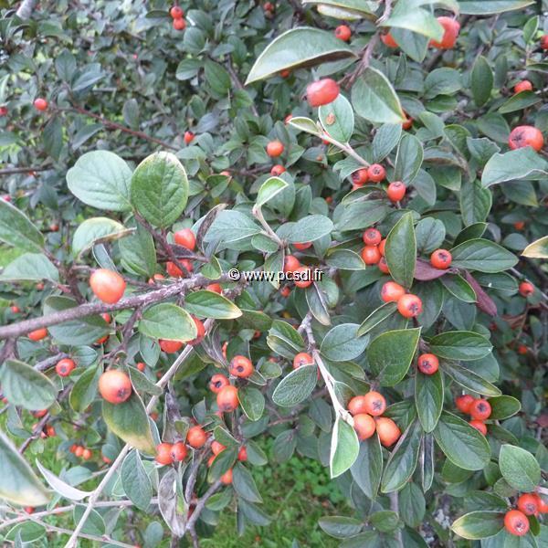 Cotoneaster franchetii C4L 80/100