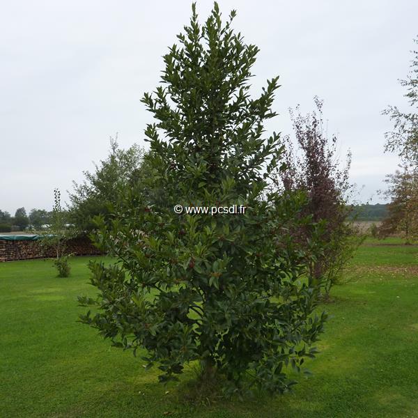 Ilex x koeheana \'Chestnut Leaf\' C90L 3/4m