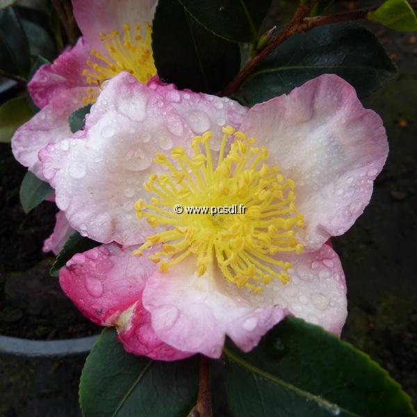Camellia sasanqua \'Betty Lynda\' C7L 60/80
