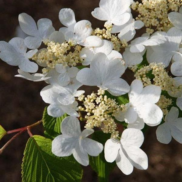 Viburnum plicatum \'Mariesii\'