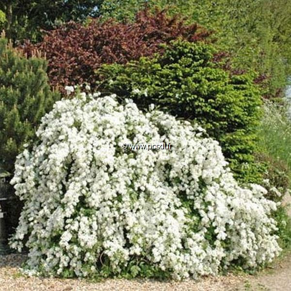 Exochorda x macrantha \'The Bride\' 30/40 C4L