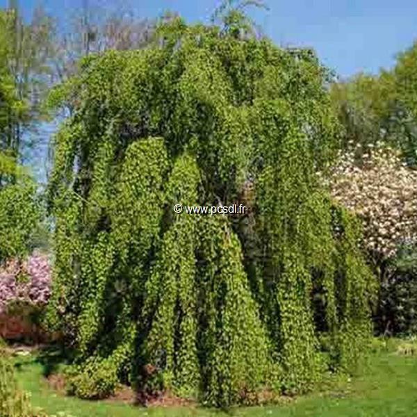 Cercidiphyllum japonicum \'Pendulum\' C4L 125/150