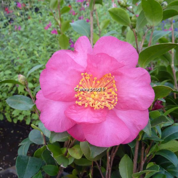Camellia sasanqua \'Anna Dzofka\' C25L 100/125