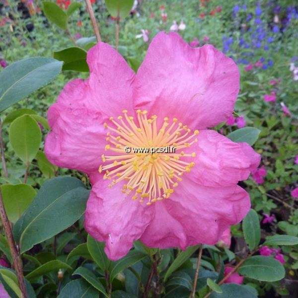 Camellia sasanqua \'Anna Dzofka\'